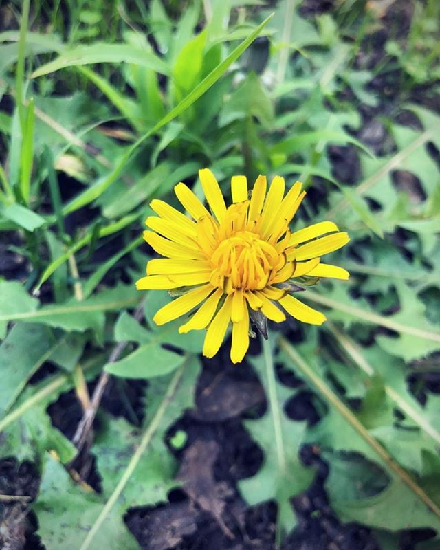 Language of Flowers 🌼 Dandelion (Taraxacum) 🌼 Rustic oracle 🌼 candicesardella.com . . . . #flowerlanguage #dandelion #flower #organicskincare #holistichealth #healthylife #naturalbeauty #wellness #esthetician #sanfrancisco #potrerohill