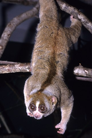 By David Haring / Duke Lemur Center - email, CC BY-SA 3.0, https://commons.wikimedia.org/w/index.php?curid=12310853