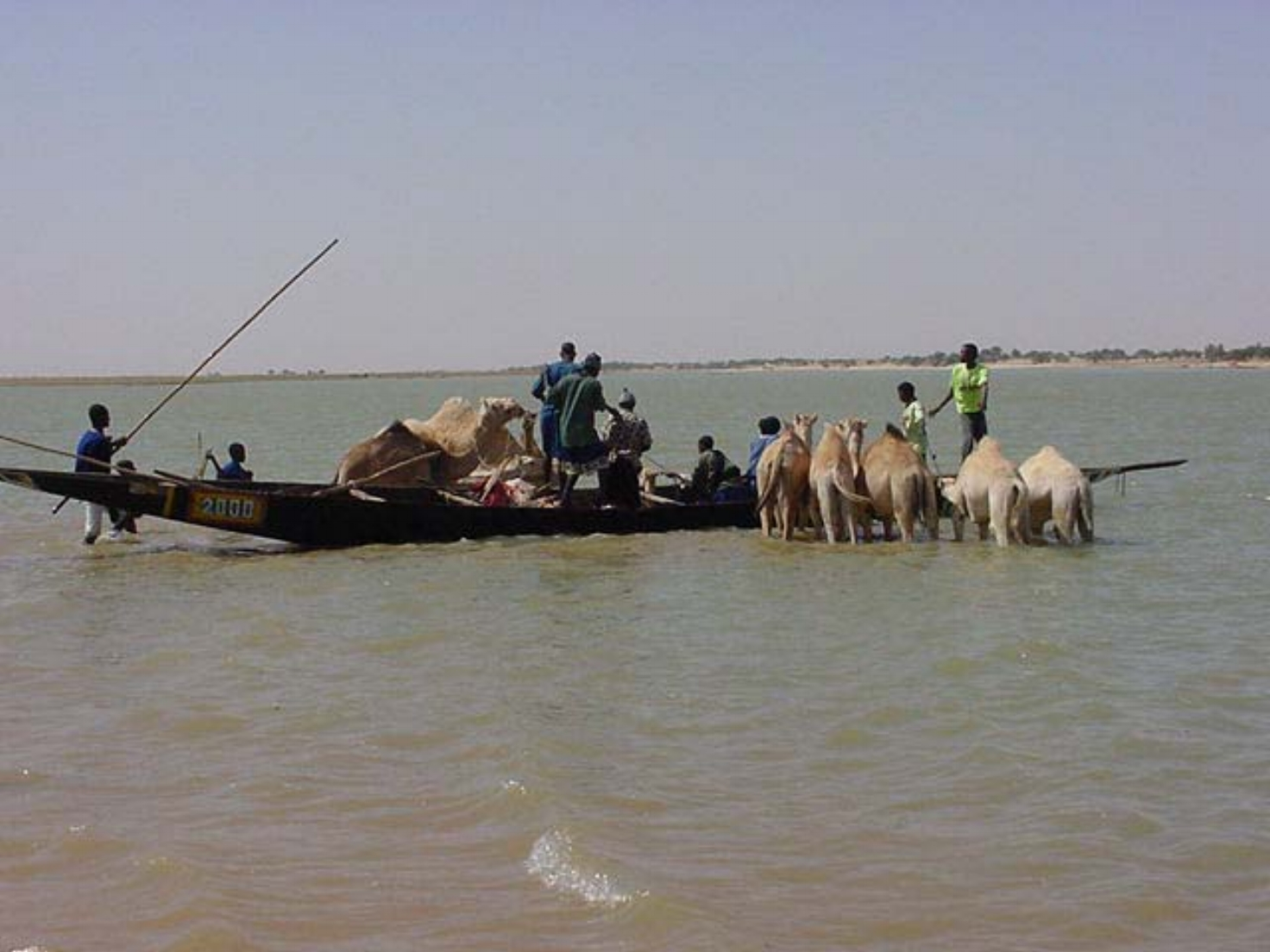 Herding camels across the river
