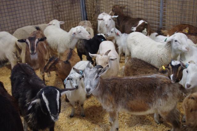 Goats at the Jayco Animal Nursery