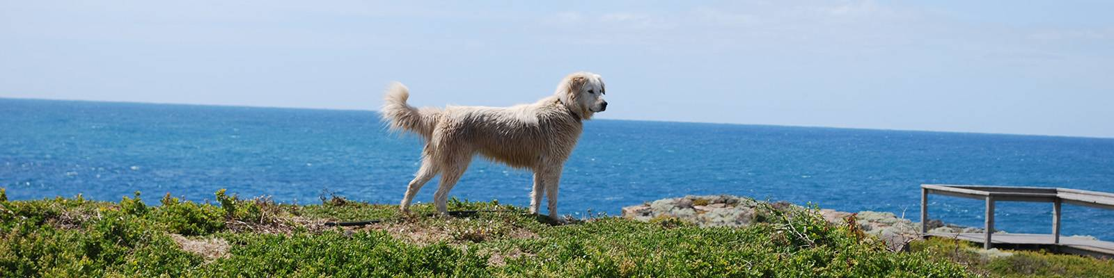 One of the two Maremma Guardian dogs spend five days per week on Middle Island during the breeding season