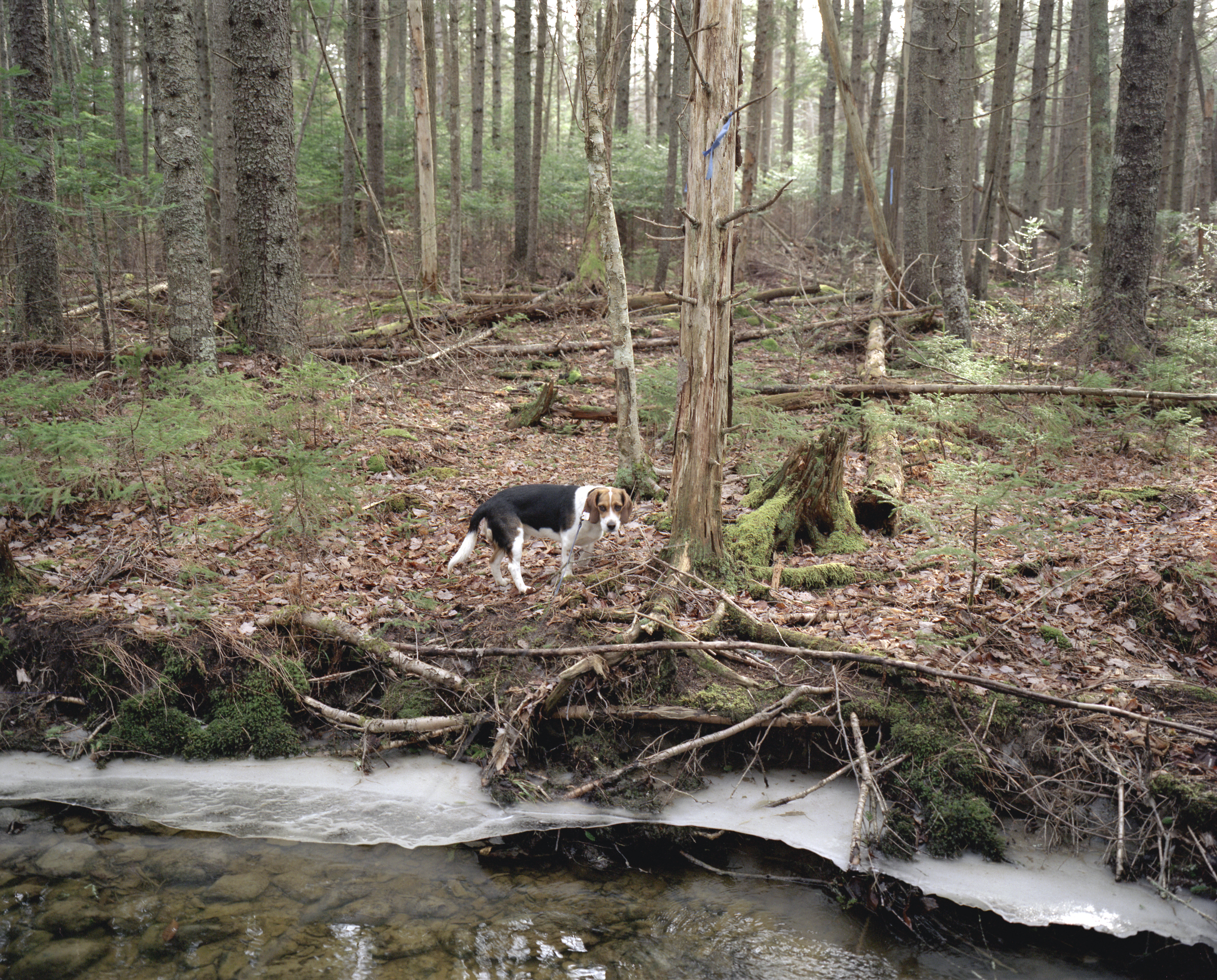 Beagle in woods 300.jpg