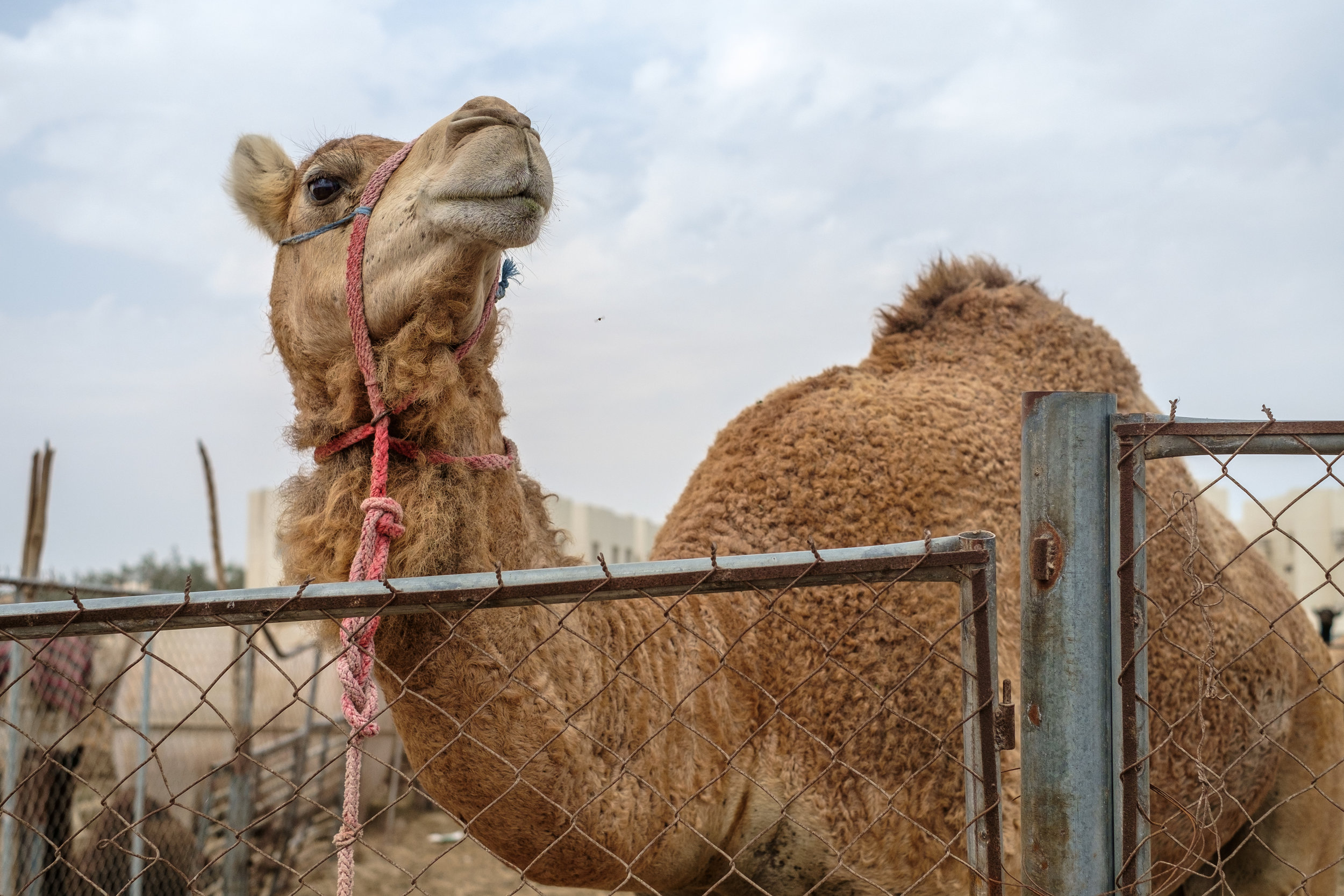 A camel waiting to be sold at the Camel Market in the Abu Hammour district on the outskirts of Doha.