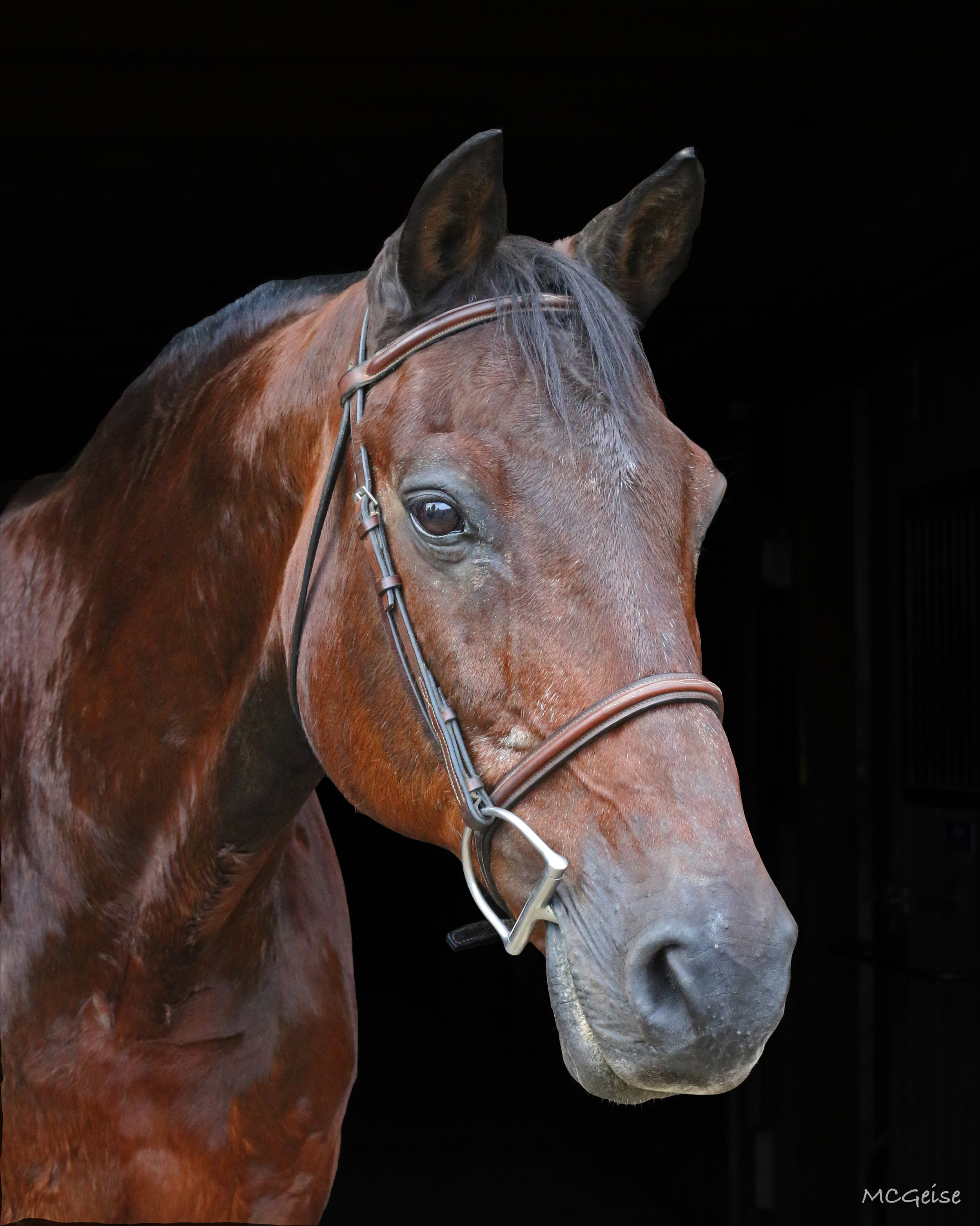 CARSON  Carize (Carson) is a 15.2 hand, warmblood gelding. Carson was donated to Mane Stream from Robert Beck of Hunters Crossing Farm. Carson's go-to snack is Peeps! Prior to joining Mane Stream Carson could be found showing in the Children and Adult hunters.