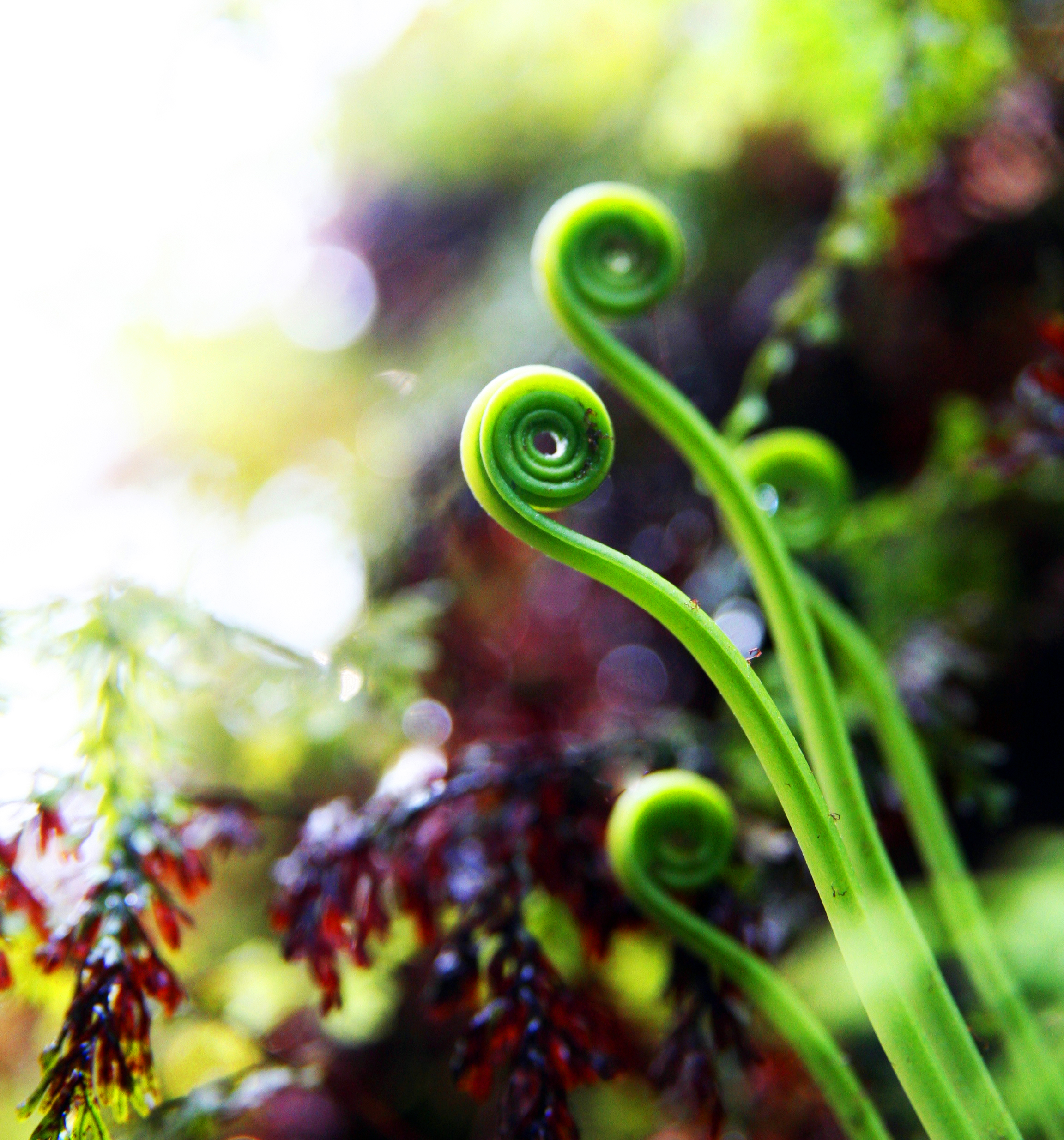 Ferns Borrowed Genes to Thrive in Low Light