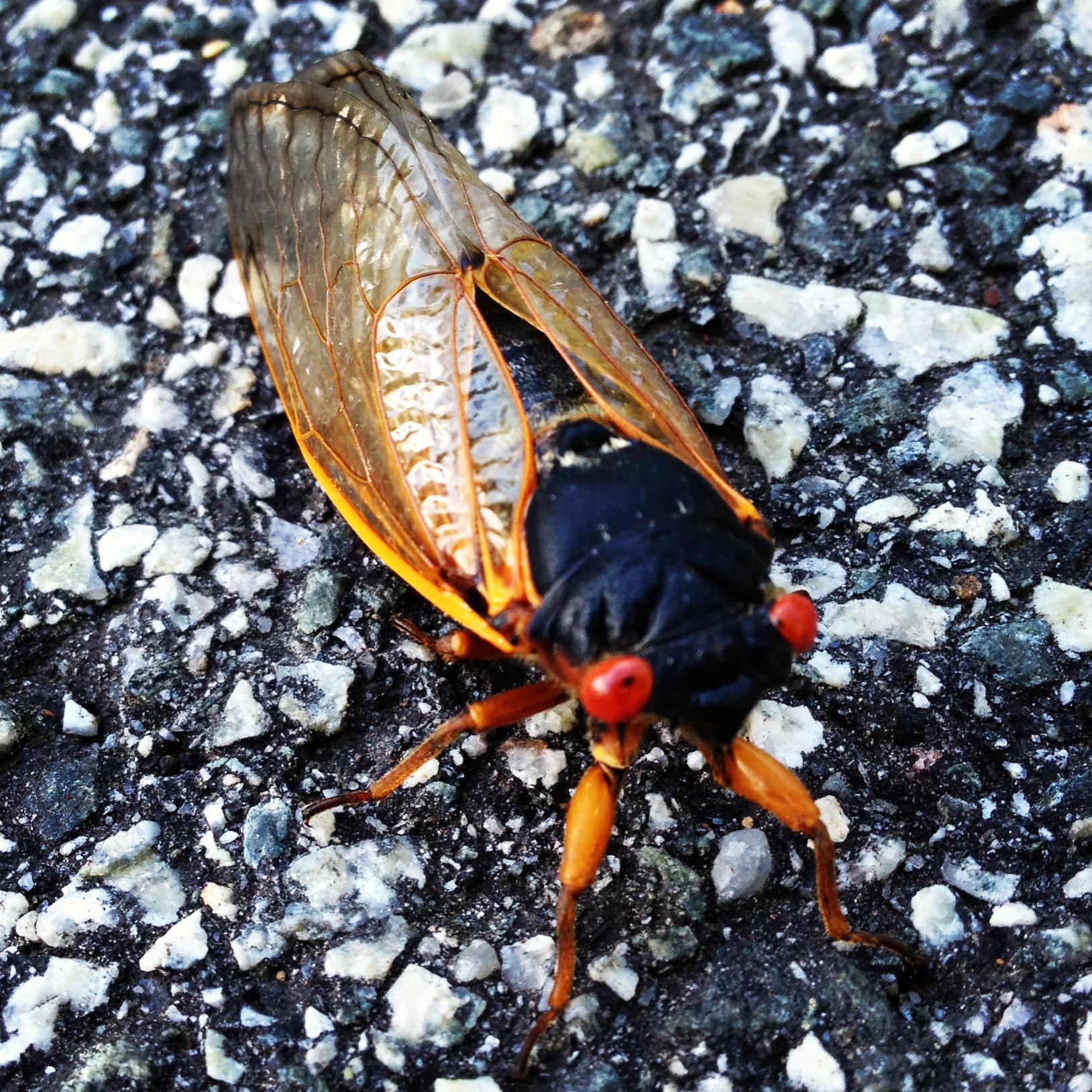 Cicadas Meet Citizen Science