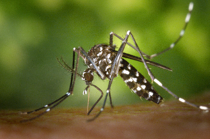 Wolbachia Bacteria Can Control Mosquitoes with Fewer Chemicals