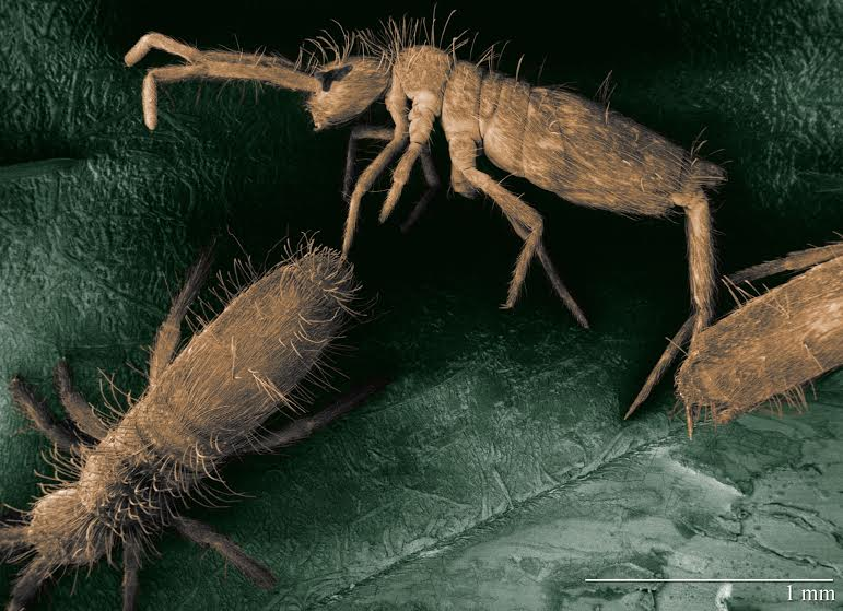 The Collophore Helps Put the Spring in Springtails