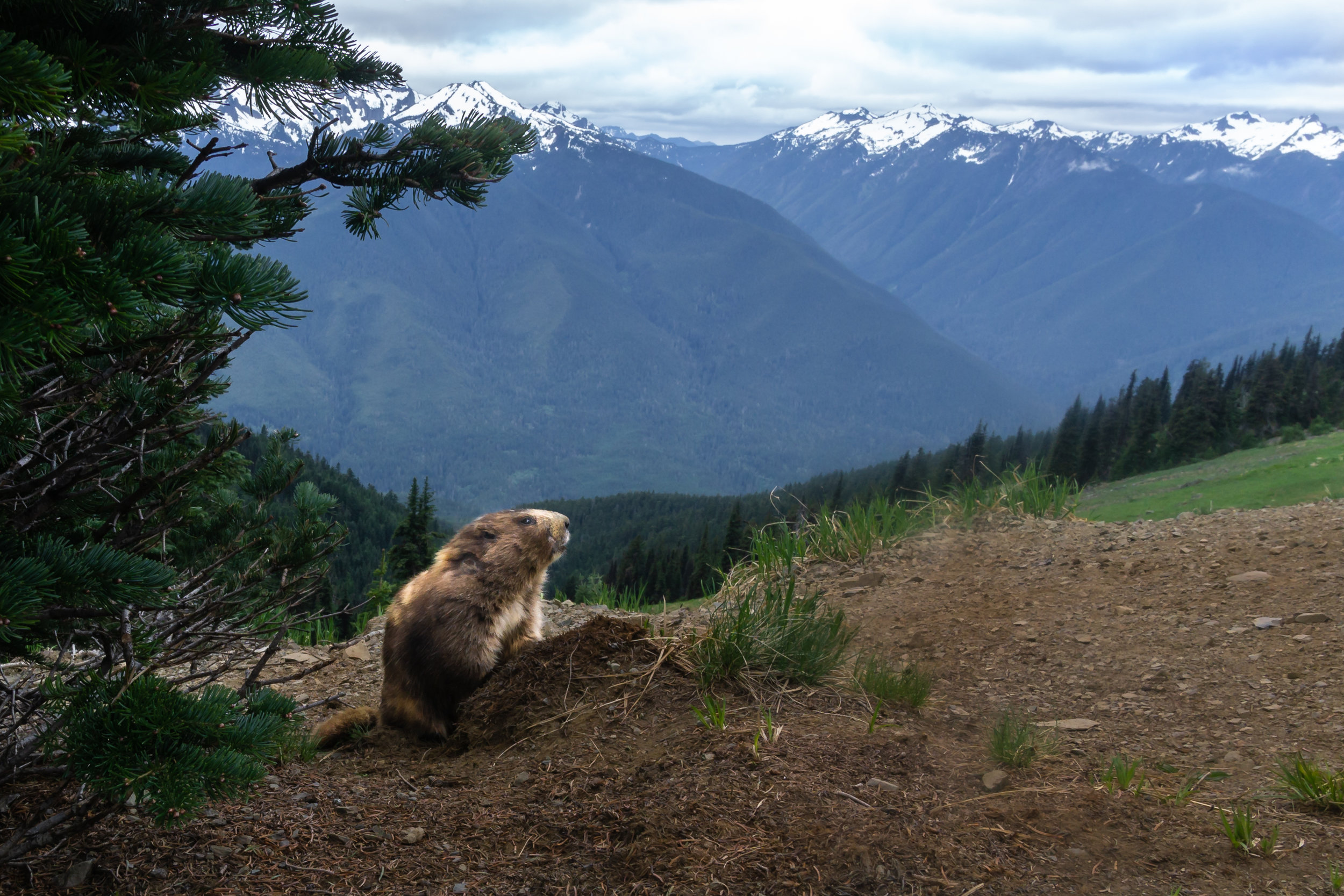 Copy of Marmot, Hurricane Hill, Olympic NP, 2018