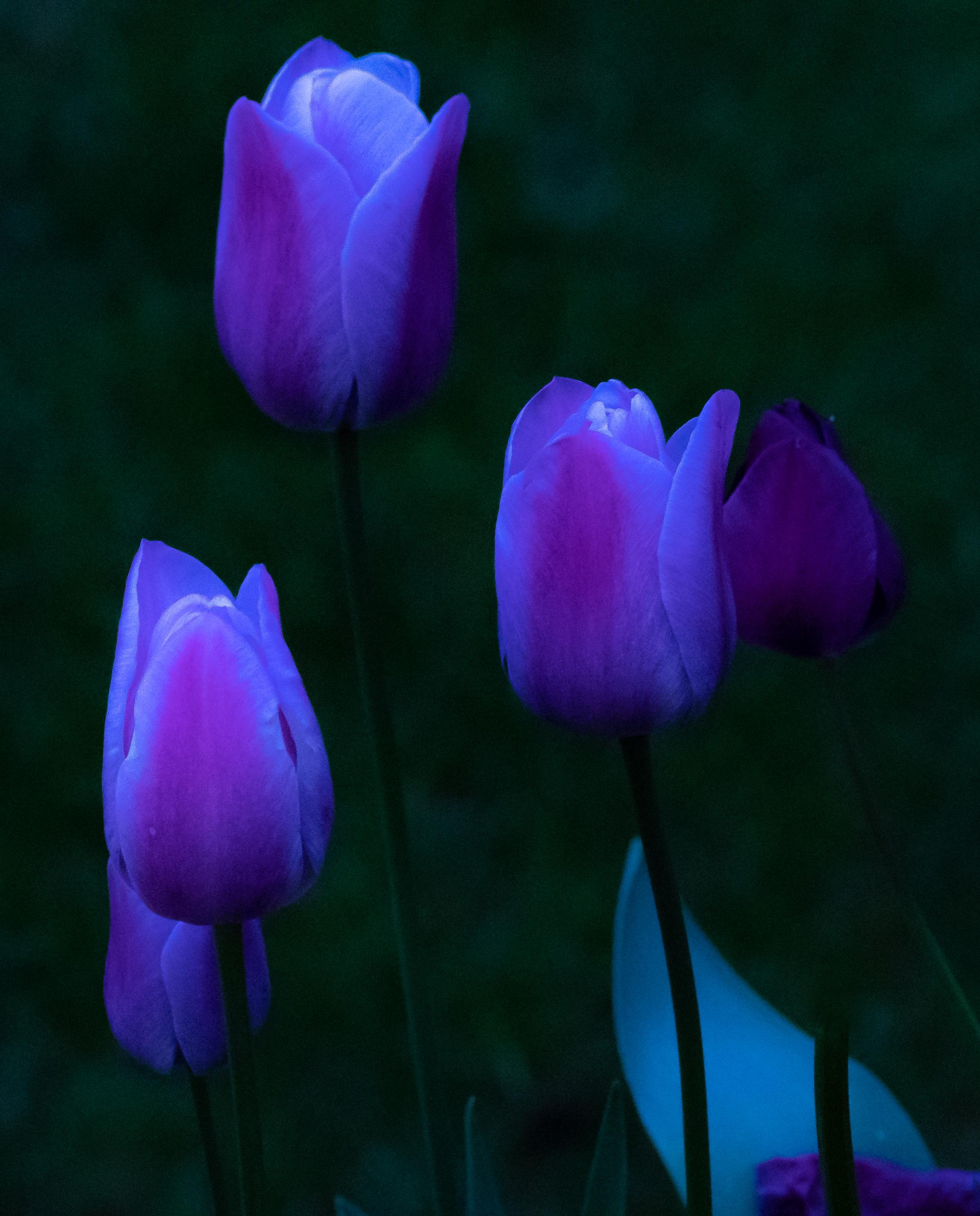 Tulips, PT, 2018