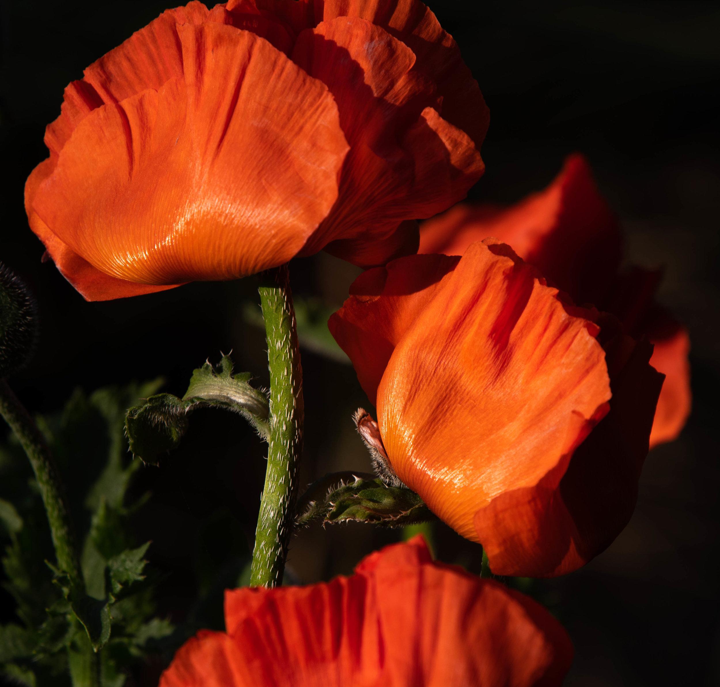 poppies (1 of 1).jpg