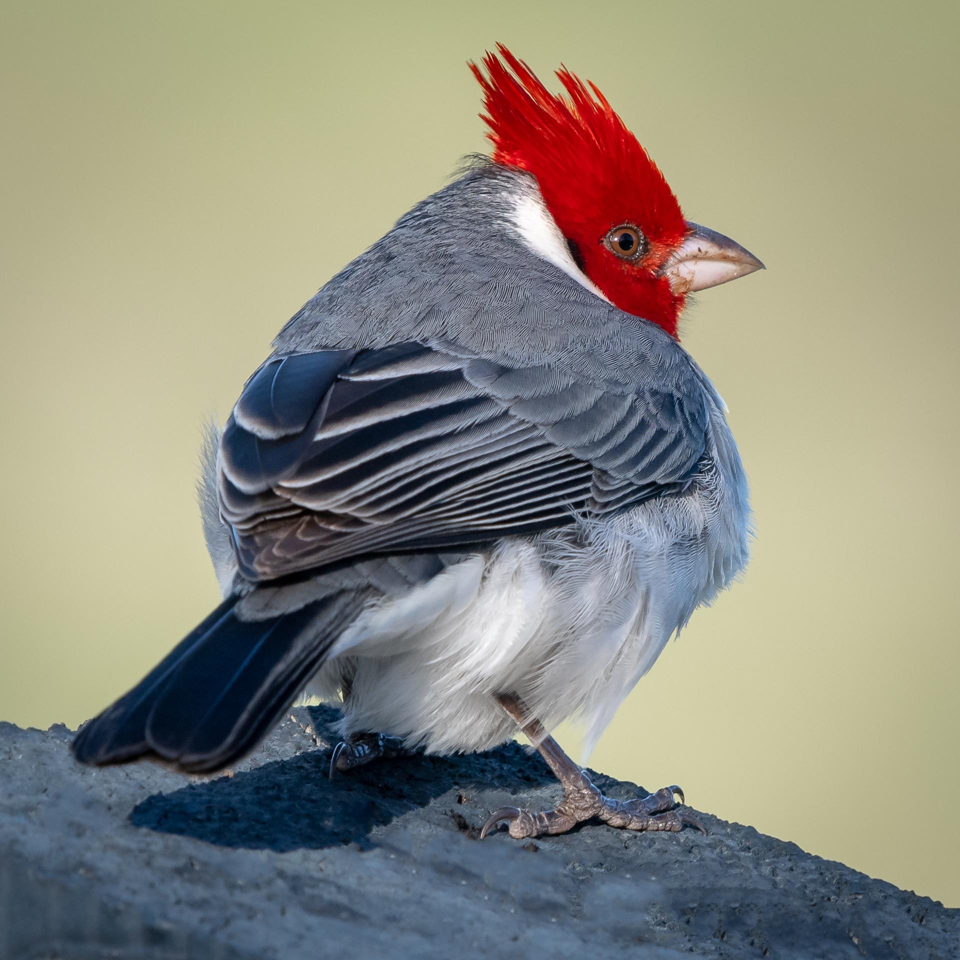 Red-crested Cardinal, Kauai, 2019