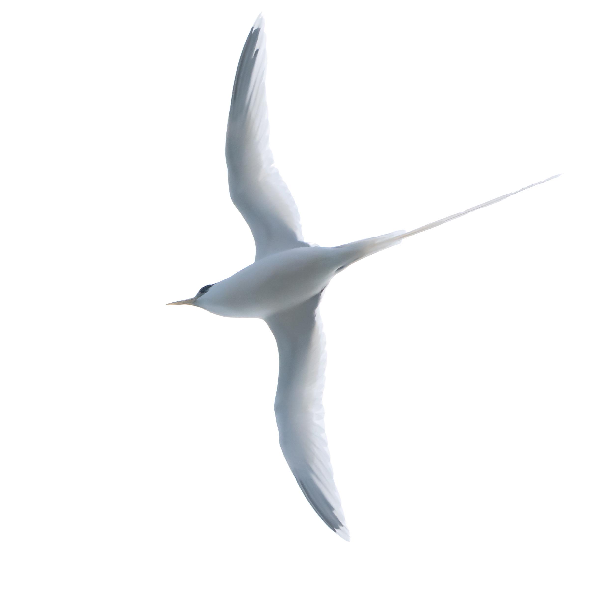White-tailed Tropicbird, Kauai, 2019