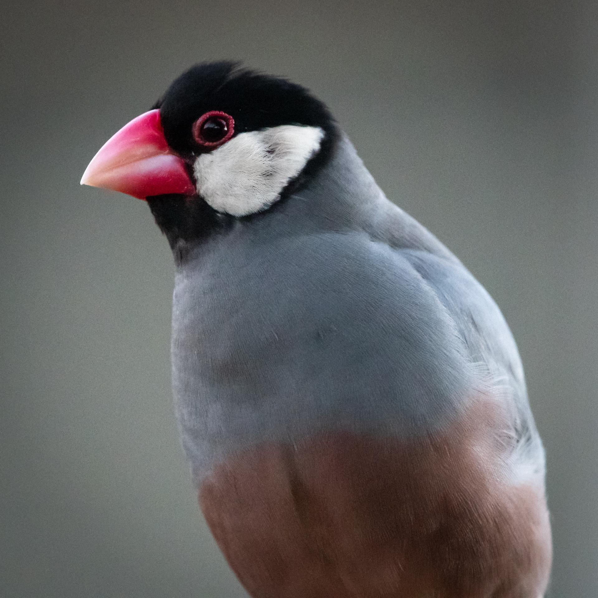 Java sparrow, Kauai, 2019