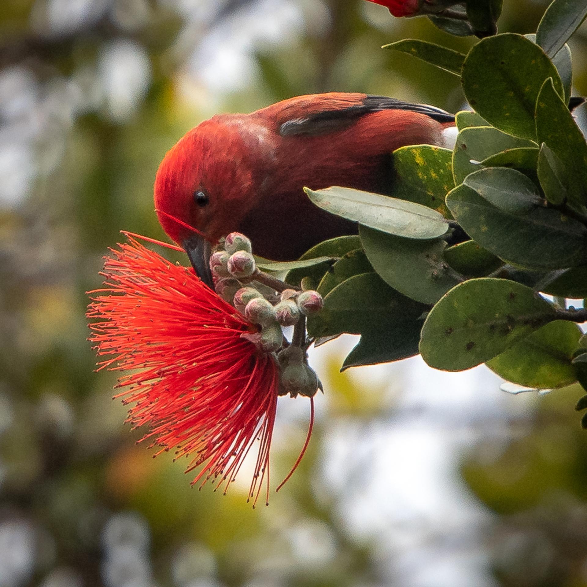 Apapane, Kauai, 2019