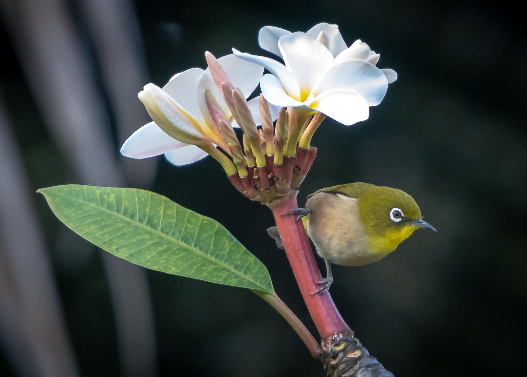 Japanese White-Eye, Kauai, Hawai'i