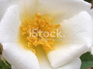 stock-photo-43082626-wild-white-rugosa-rose.jpg