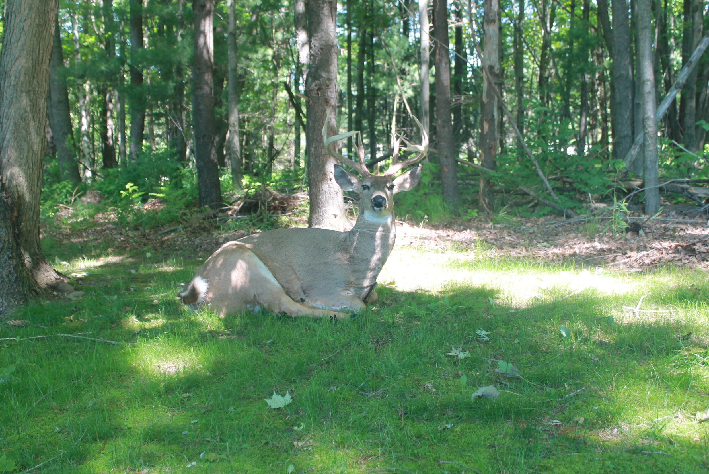 obimage of buck laying down for laying whitetail deer decoy