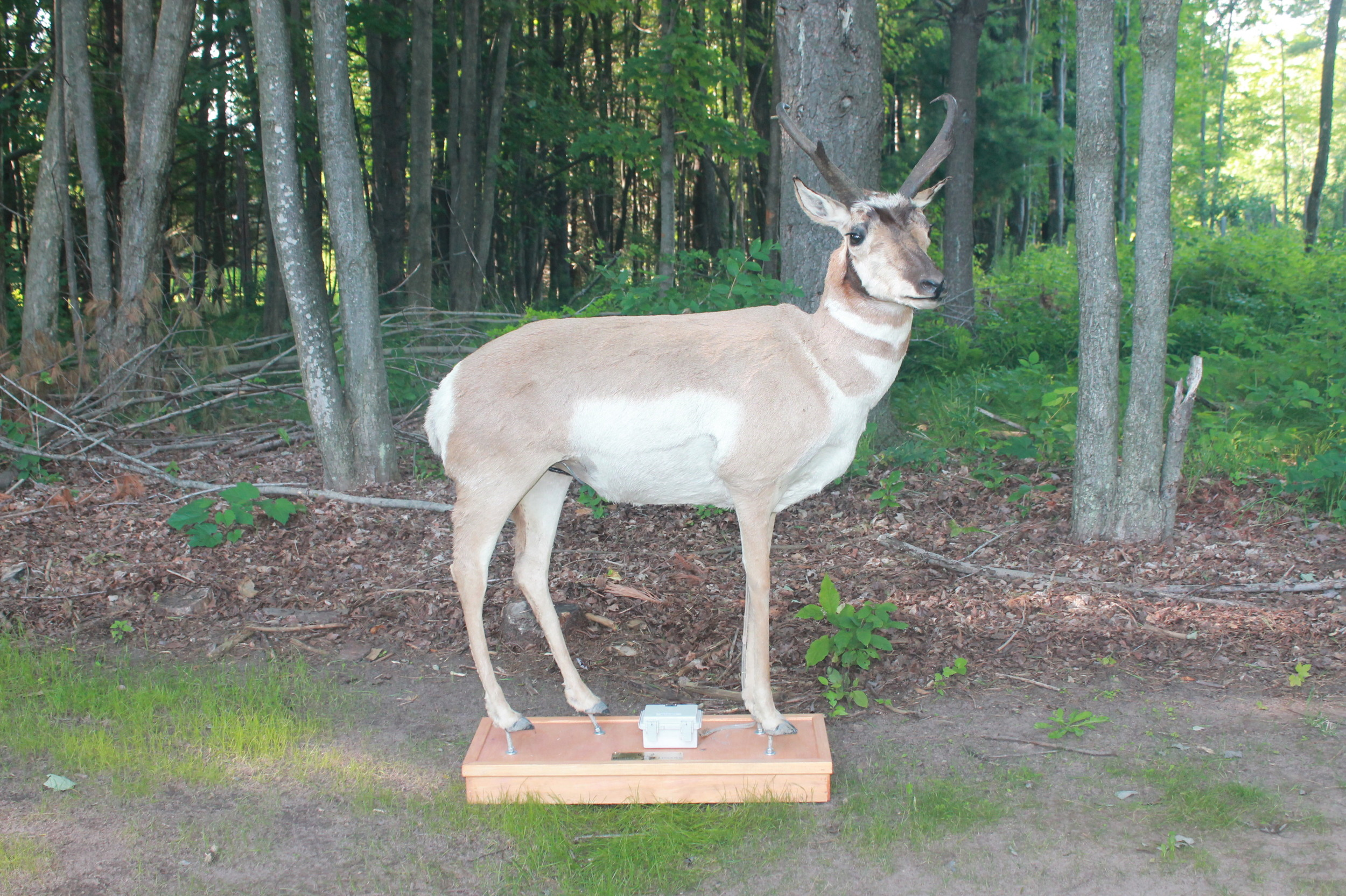 image of antelope looking out over range for Robotic Decoys antelope mount