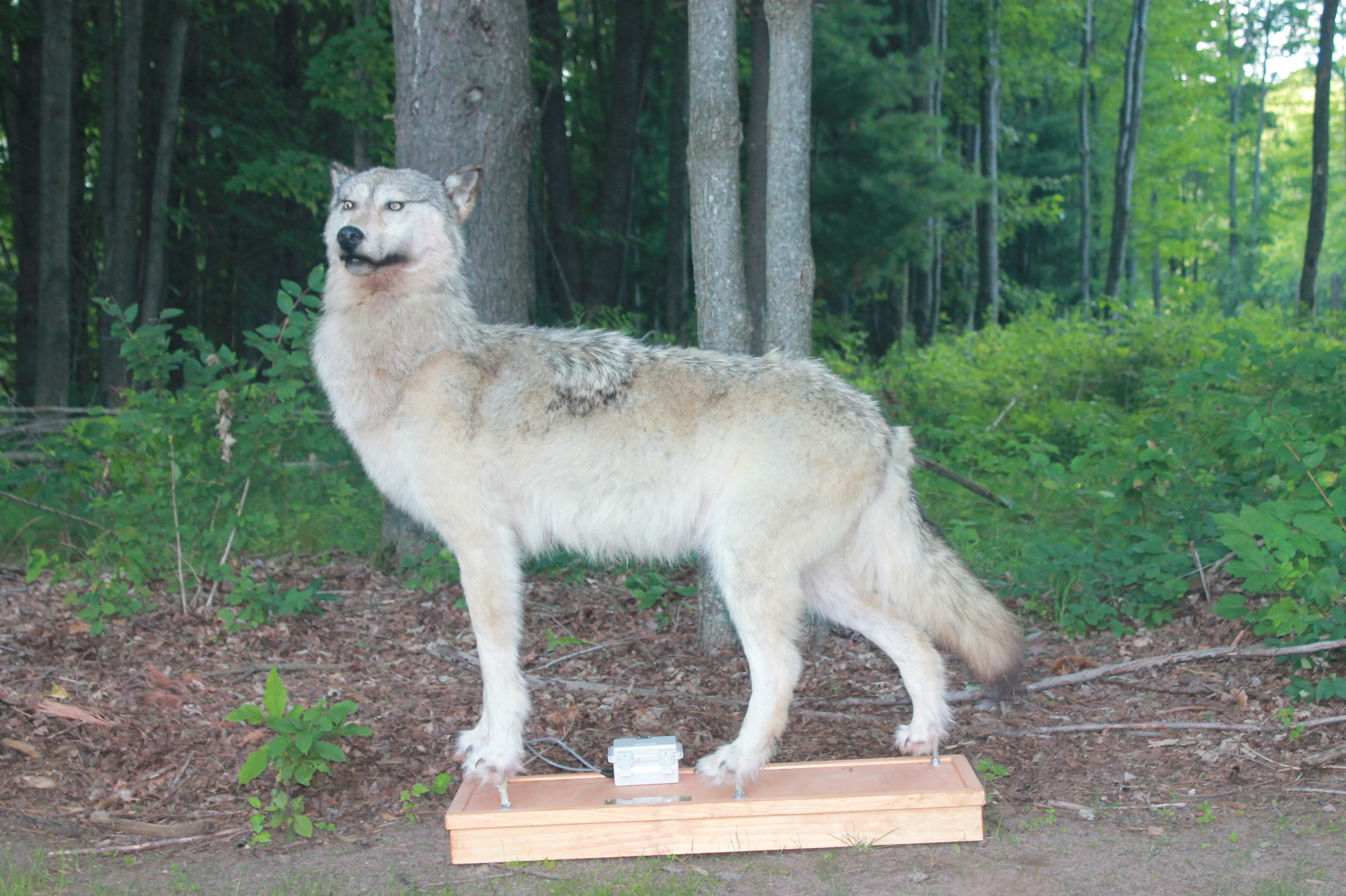 wolf in woods for robotic decoy image of wolf mount