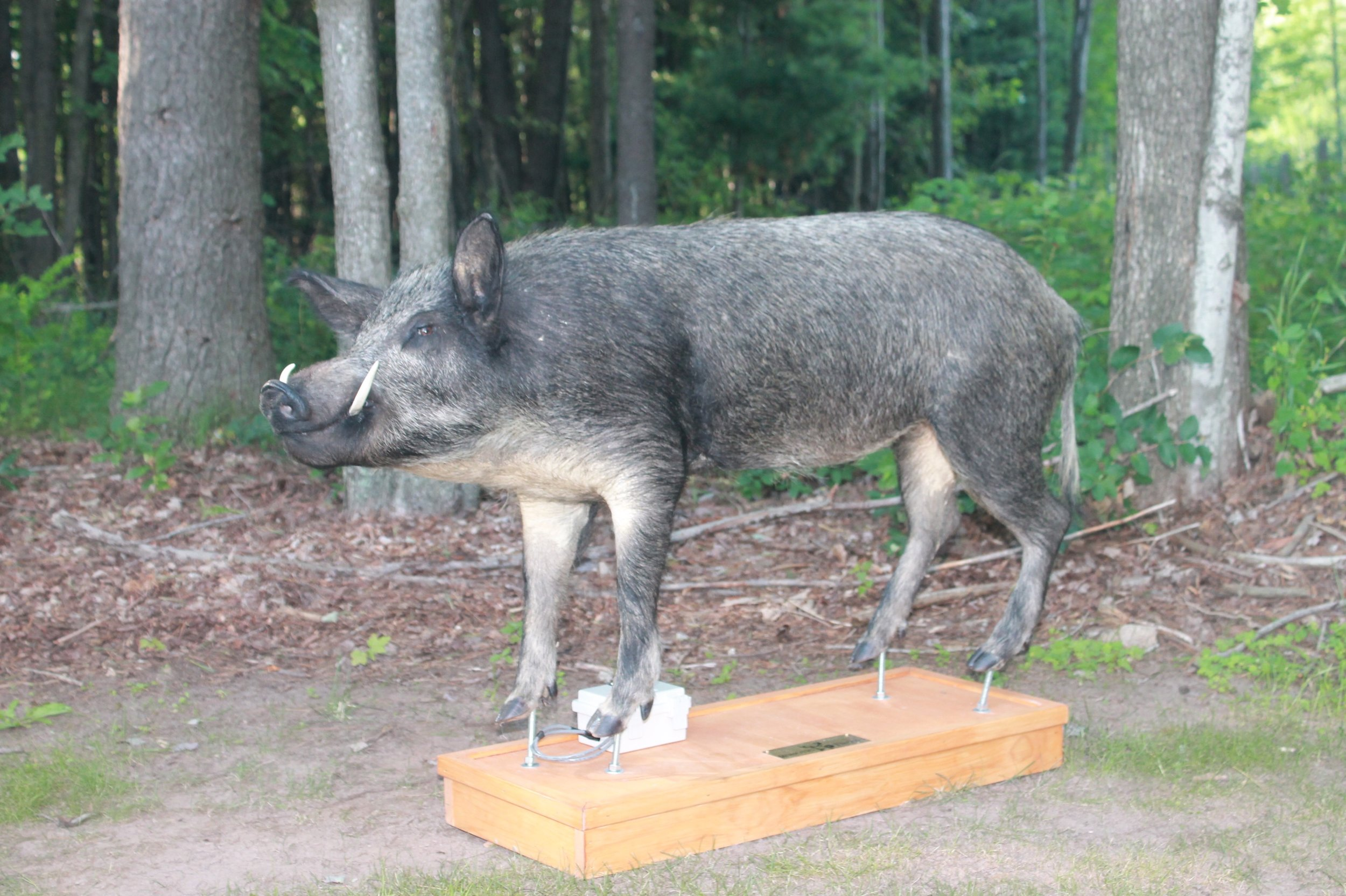 Robotic Hog Decoy