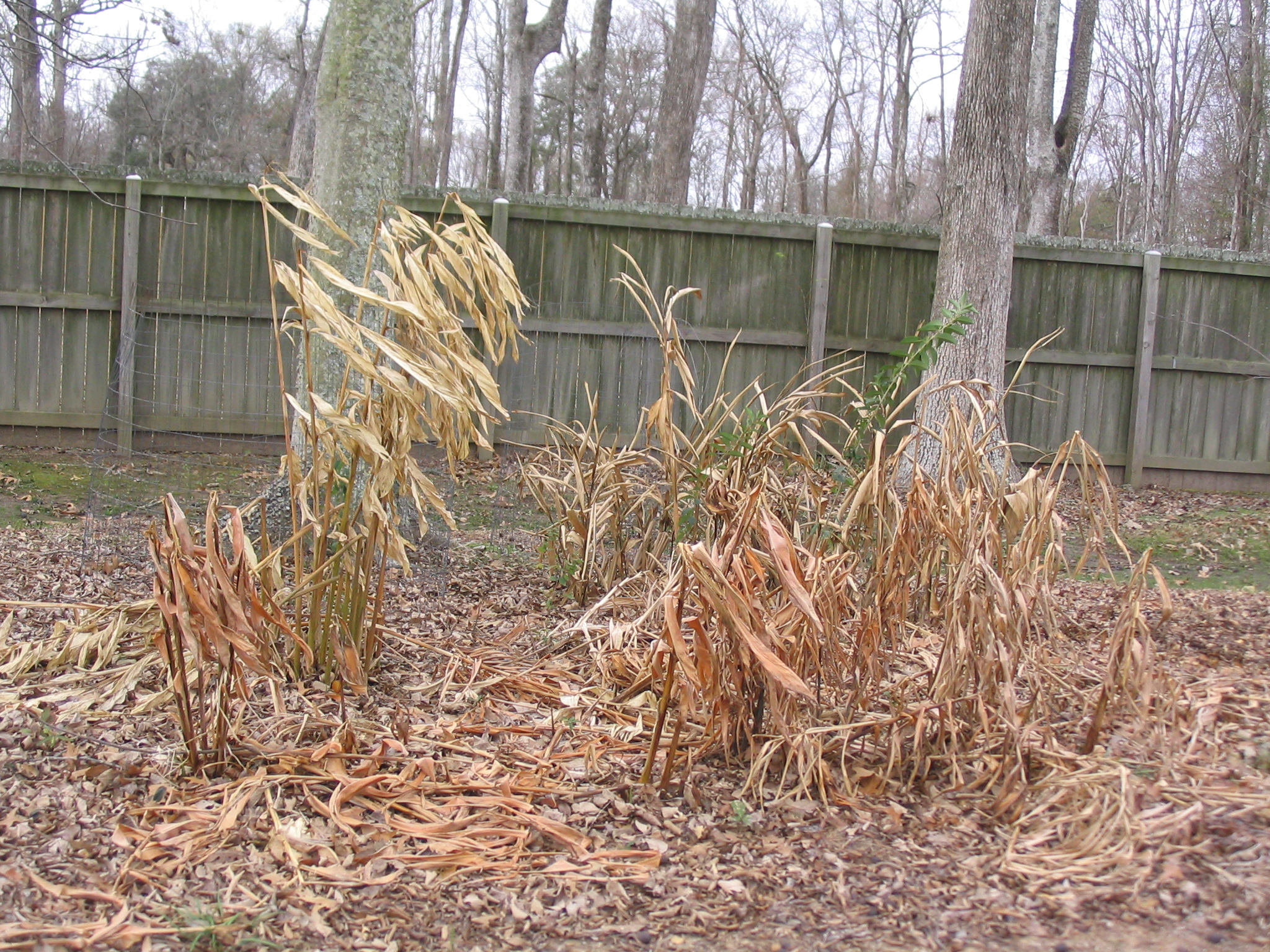 Herbaceous plants - like gingers - can be cut back a few days after a killing freeze. Photo by Dan Gill