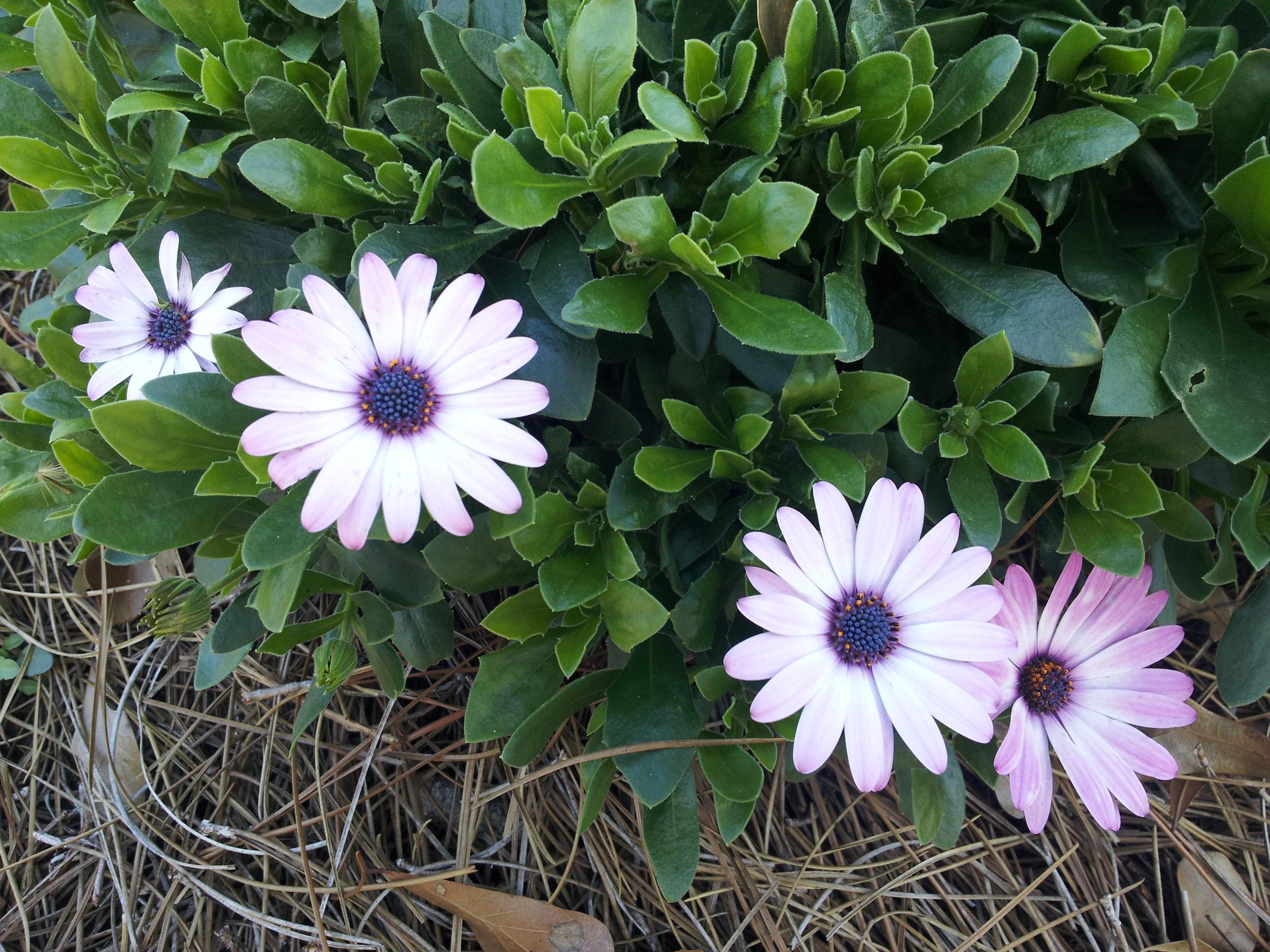 annuals-seasonal-color-baton-rouge-area (5).jpg