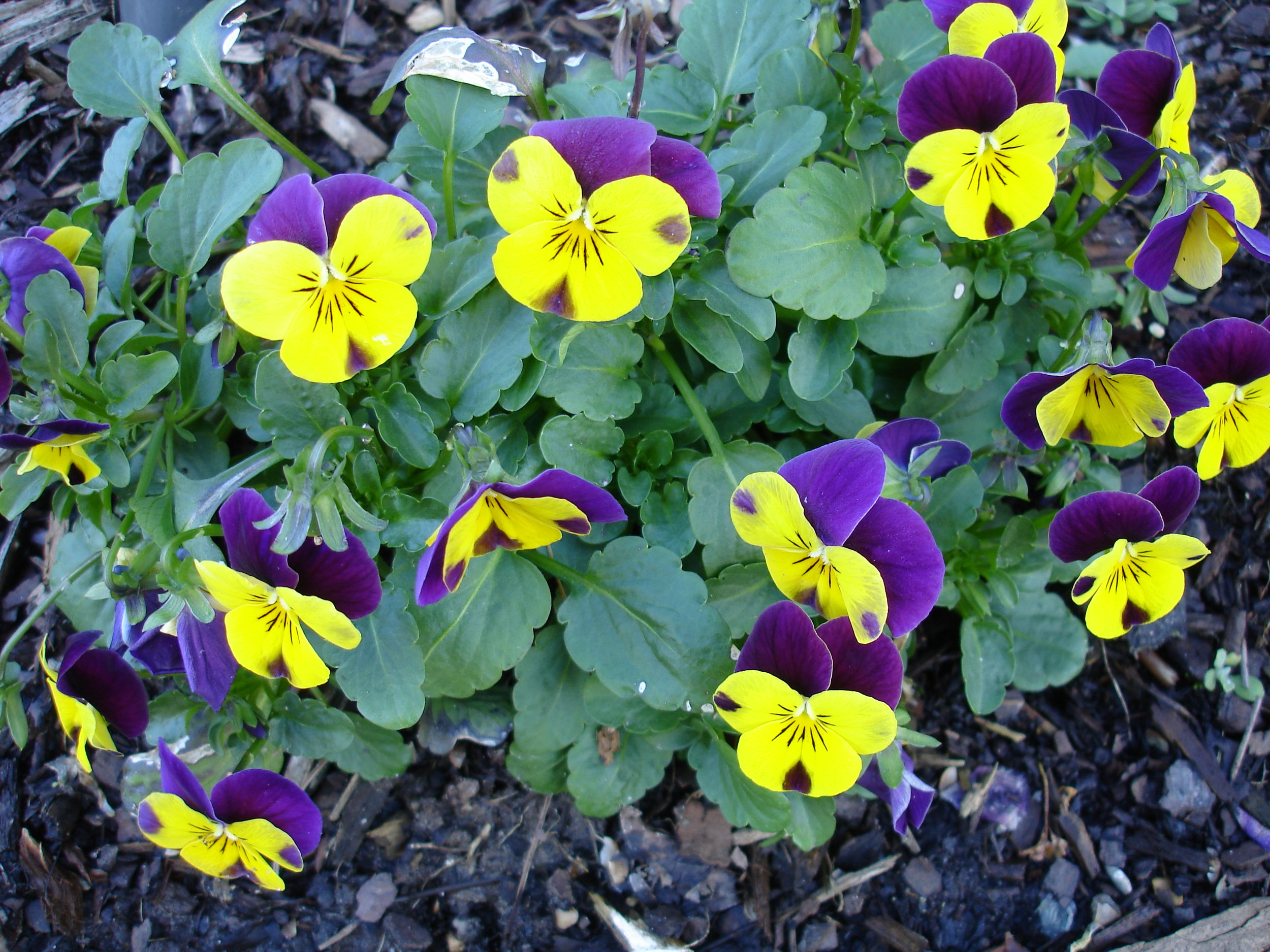 annuals-seasonal-color-baton-rouge-area (17).JPG