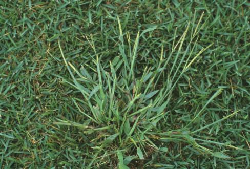 grassy-weed-488x330.jpg