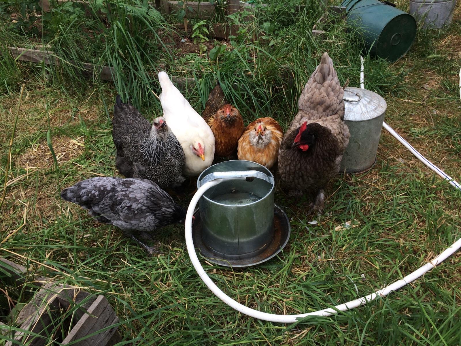 RIP pretty chickens...