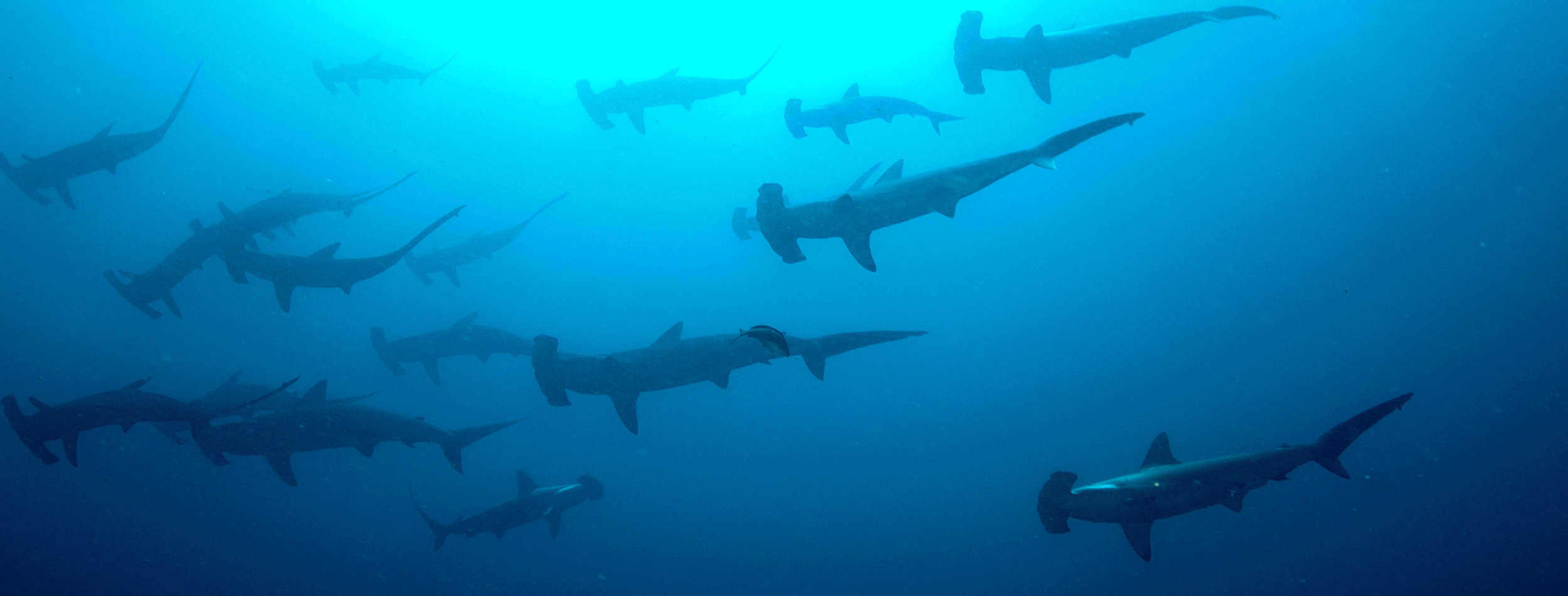 SharksSwimming