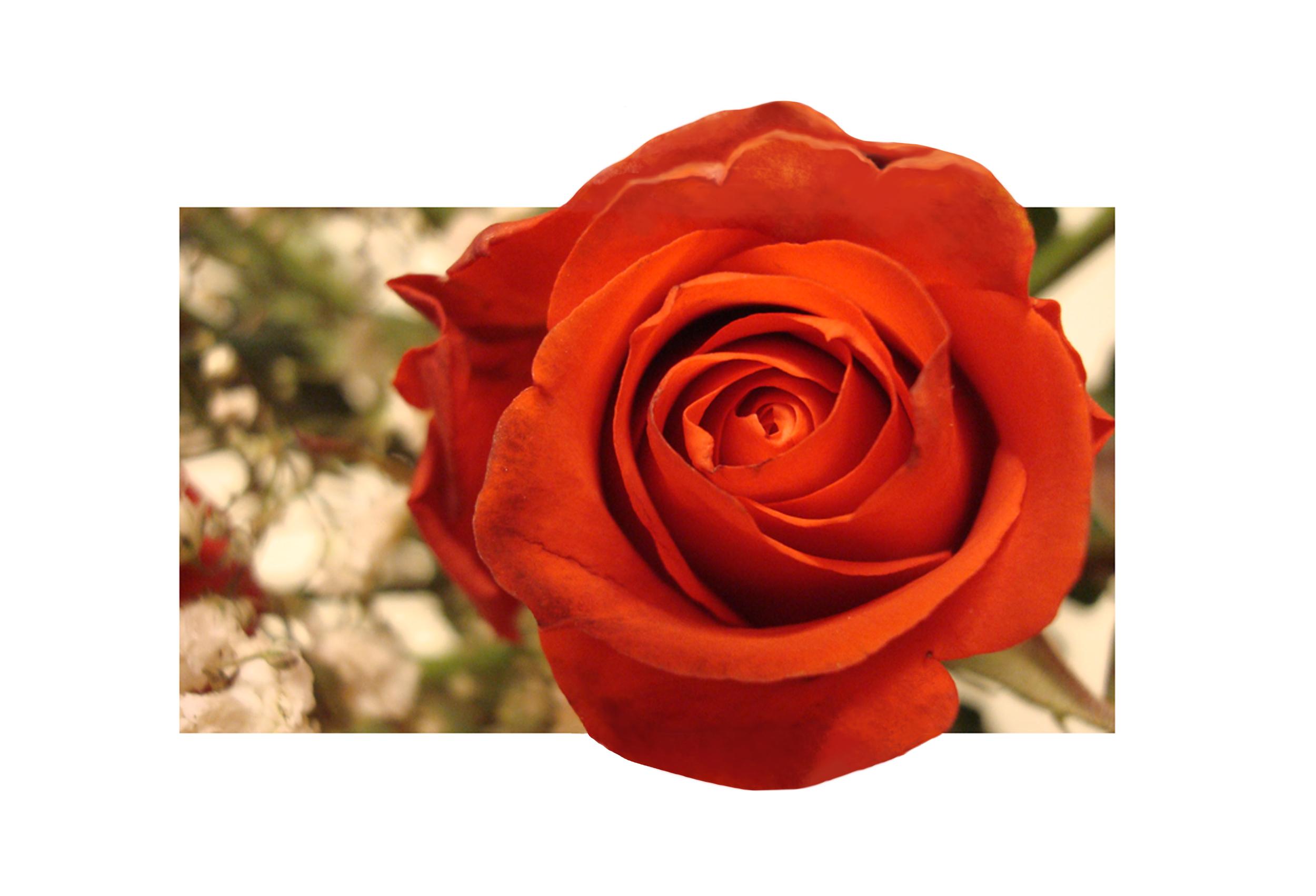 """The Rose"" - Jess Rudolph Photography: www.jessrudolph.com"