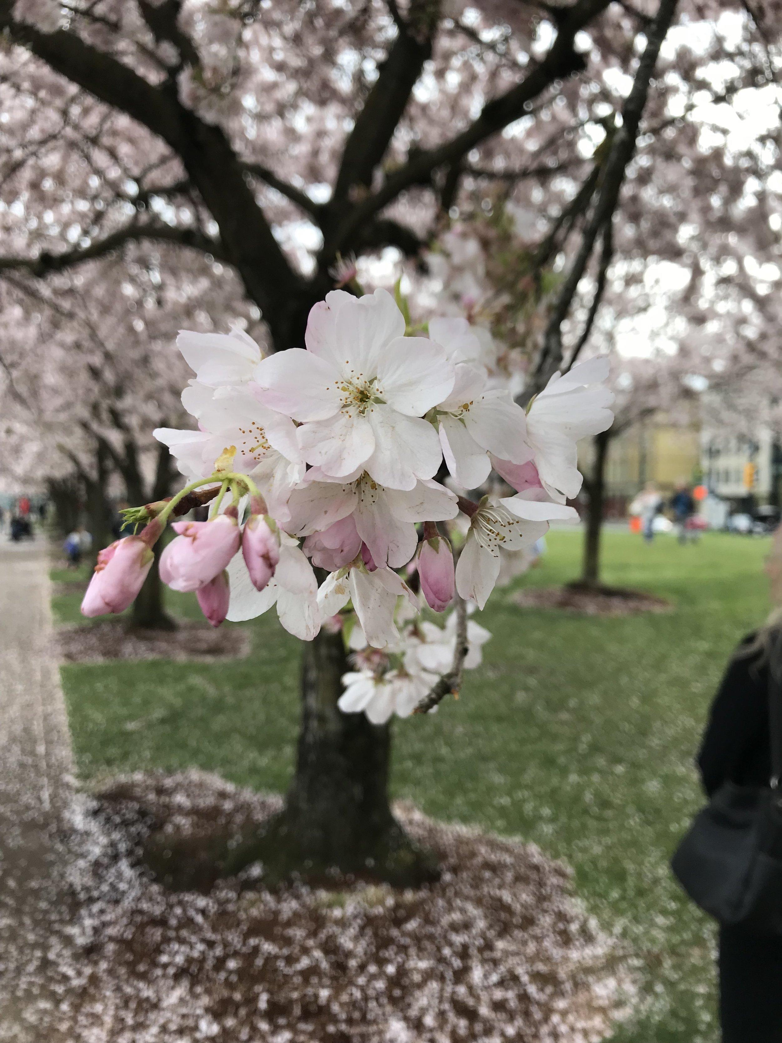Cherry Blossoms in Portland Oregon
