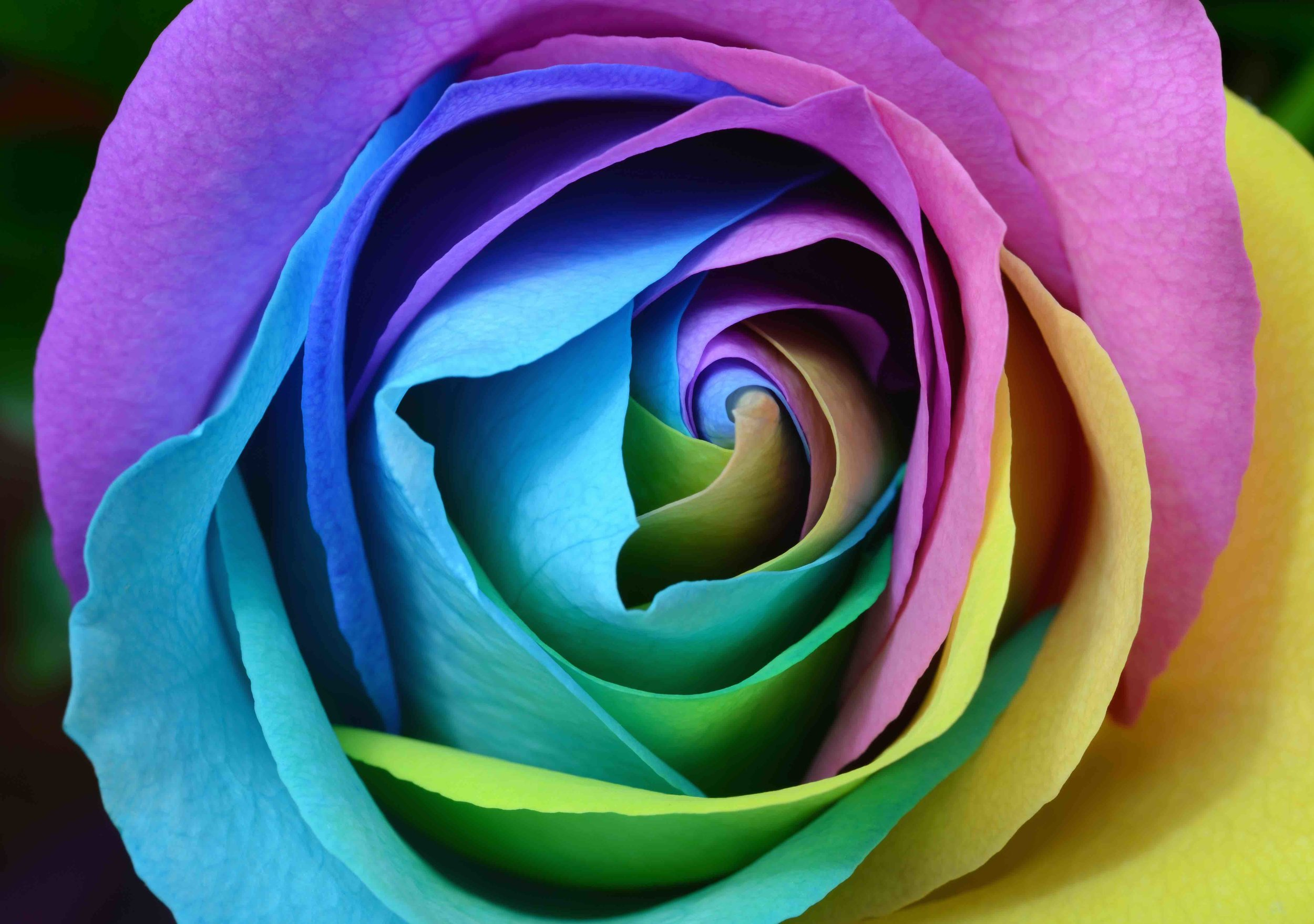 Multicolor rose