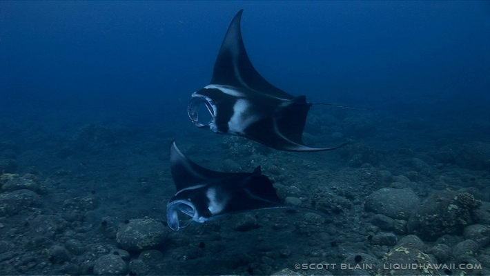 9#Best Day Manta Scott Blain 01©LiquidHawaii.com.jpg