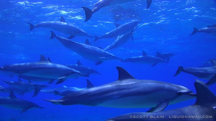 10#Best Day Dolphin Scott Blain 02©LiquidHawaii.com.jpg