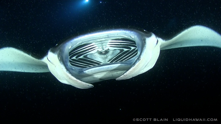 13#solo manta mouth©LiquidHawaii.com.jpg
