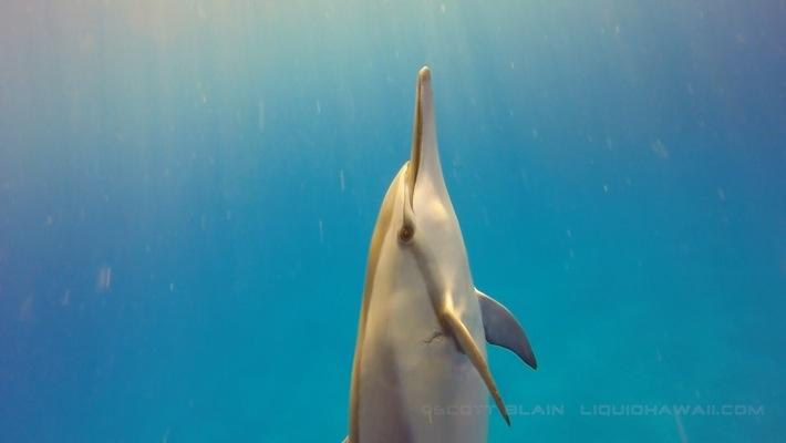 2#©LiquidHawaii.comDolphin & Sharks of Hawaii best©LiquidHawaii.com.jpg