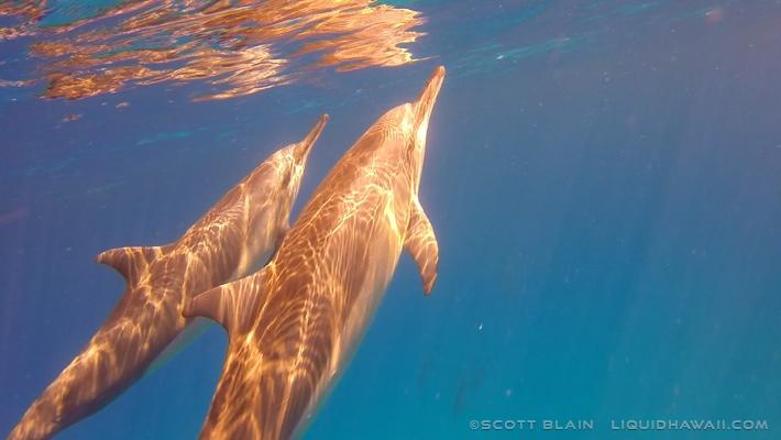 12#Best Dolphin Flyer #4©LiquidHawaii.com.jpg