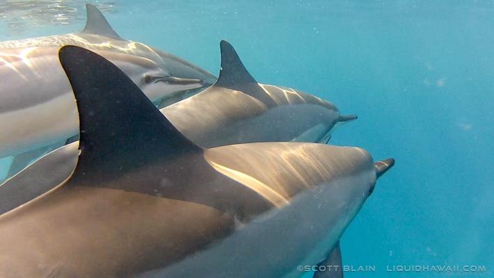 14#Best Dolphin Scott Blain 03©LiquidHawaii.com.jpg