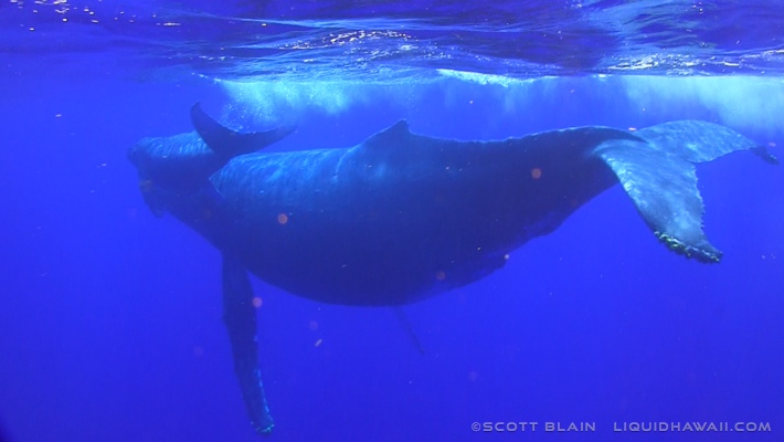10#Whale#8©LiquidHawaii.com.jpg