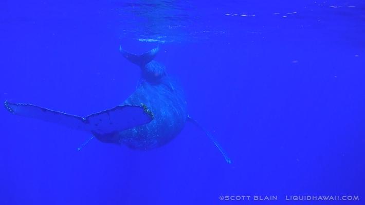 11#Whale#1Piggy Back3©LiquidHawaii.com.jpg