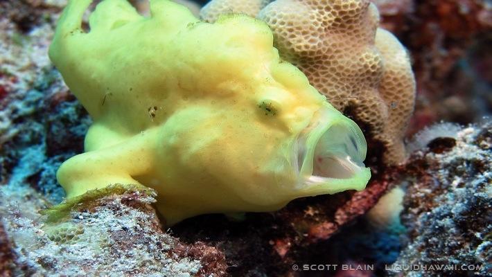 12#frogfish©LiquidHawaii.com.jpg