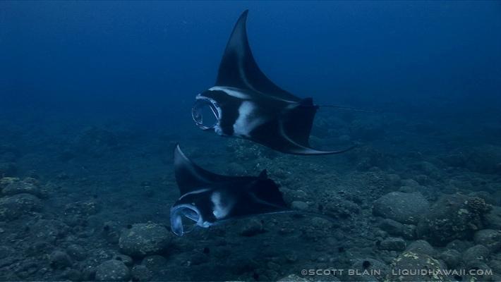 Manta Ray Snorkel Tour Hawaii