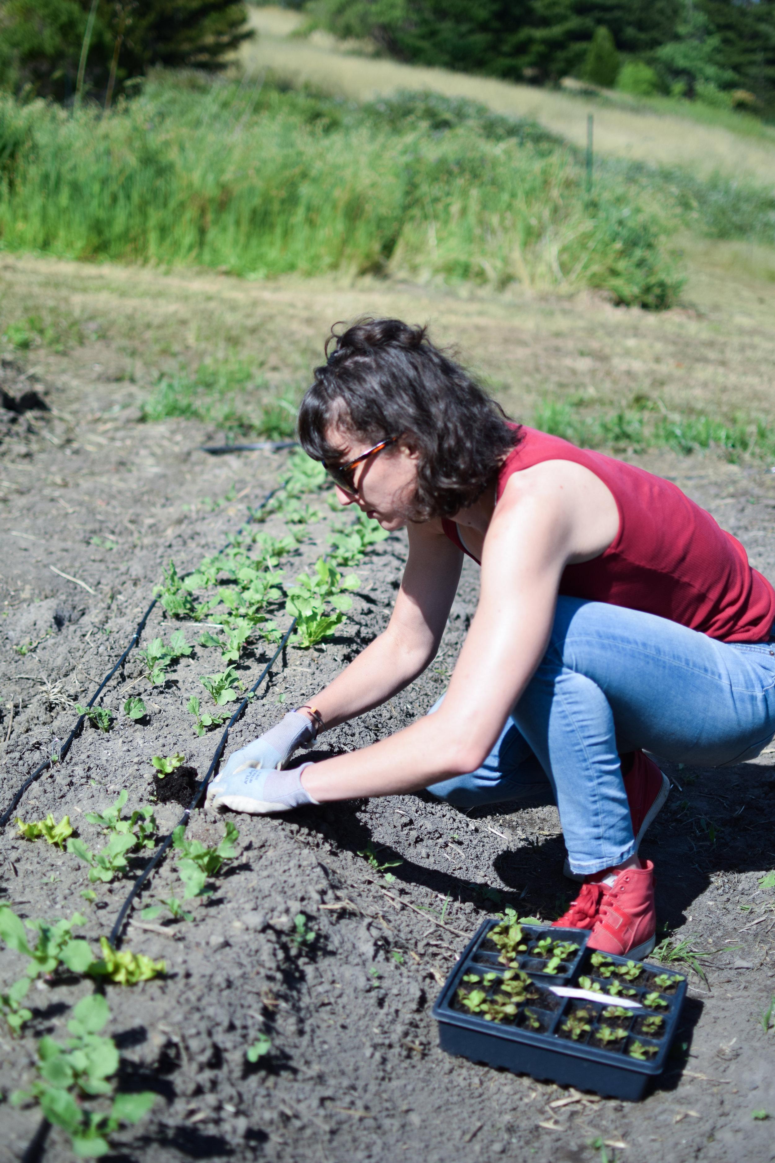 Elana transplanting lettuces