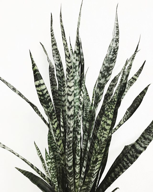 My ideal boyfriend: ✔️ Looks cute from all angles ✔️ Requires minimal attention ✔️ Won't mansplain ✔️ Is ridiculously hard to kill ✔️Tolerates low light and infrequent watering ✔️ Is a sansevieria plant.  Staff favorite for houseplant beginners! 💚