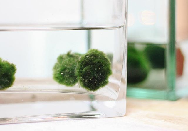 Marimo Balls! Basically the trendier, living cousin of the Pet Rock. Come in and adopt yours today 😊 📷: @annastamatic
