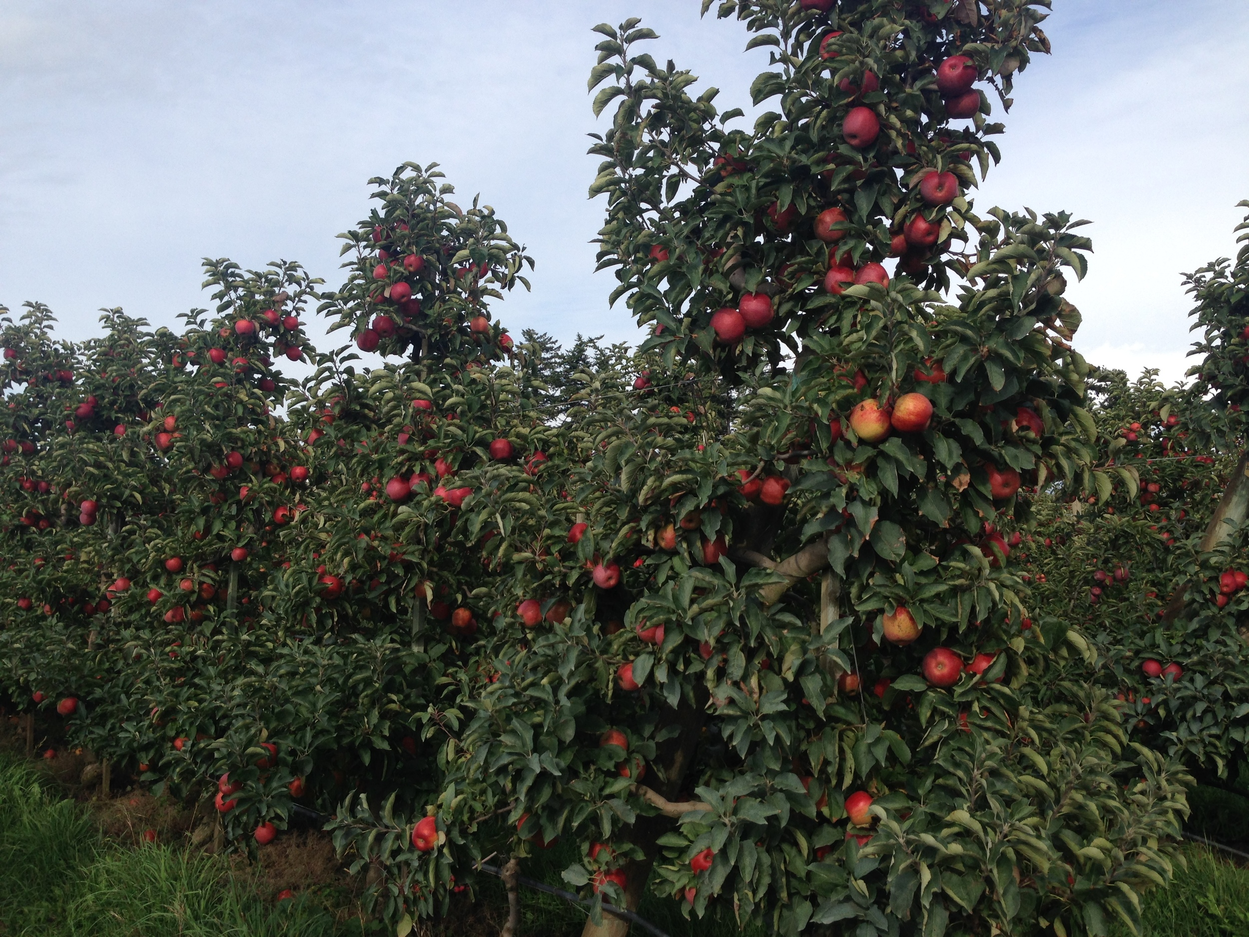 Apple orchards! We used tsugaru apples - any local apples you can find will work best!