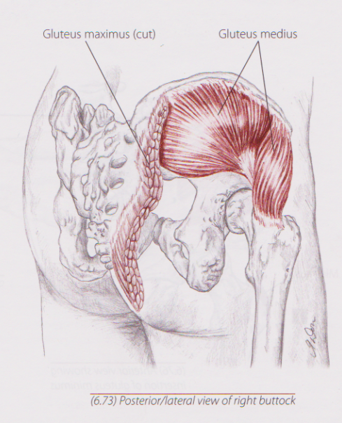 Image courtesy of Trail Guide to the Body, Third Ed. by Andrew Biel.