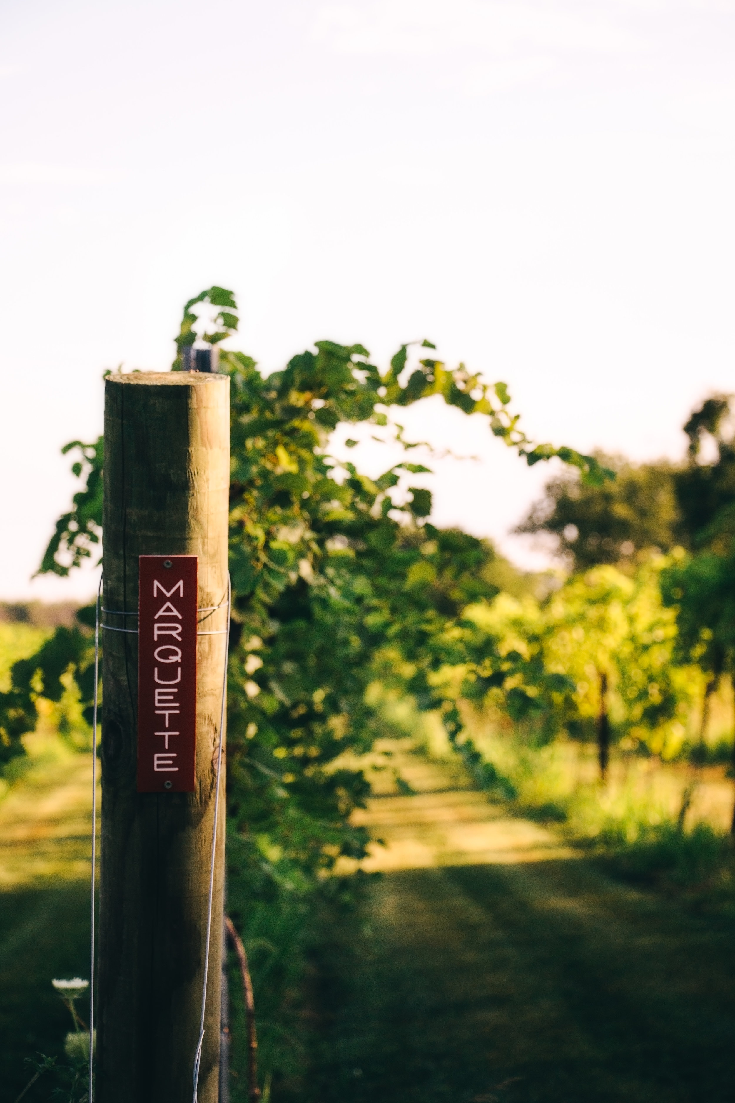Marquette - Marquette wines are complex, with attractive ruby color, pronounced tannins, and desirable notes of cherry, berry, black pepper, and spice on both nose and palate. As a red wine, Marquette represents a new standard in cold hardy viticulture and enology.